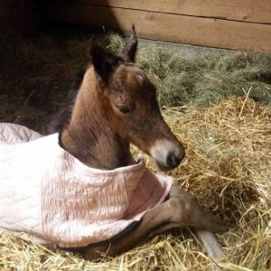 2017 Filly (Treble's Master Player x Newmont's Byzy Sister)